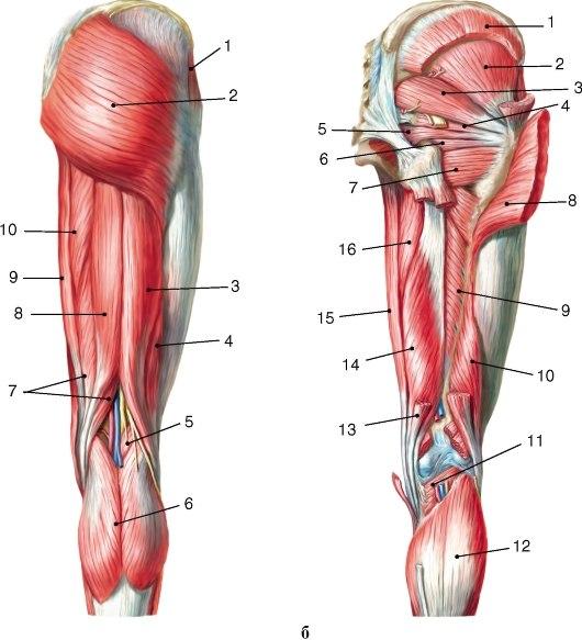 Мышца Запирательная фото